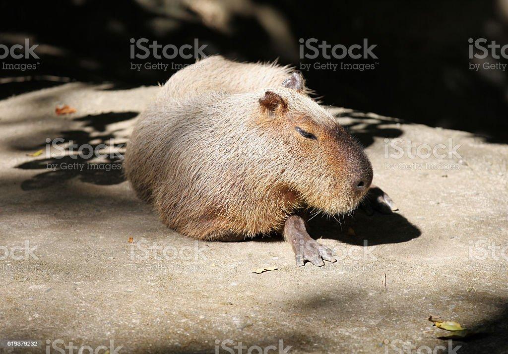 Capybara basking in the sun, Thailand stock photo