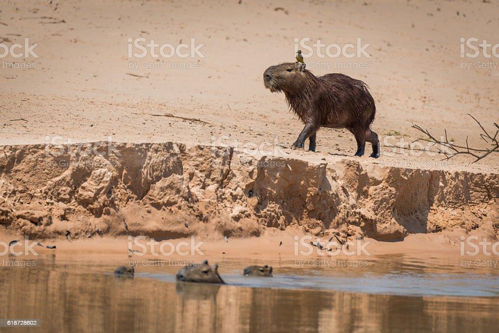 Capybara crossing sandbank with bird on head stock photo