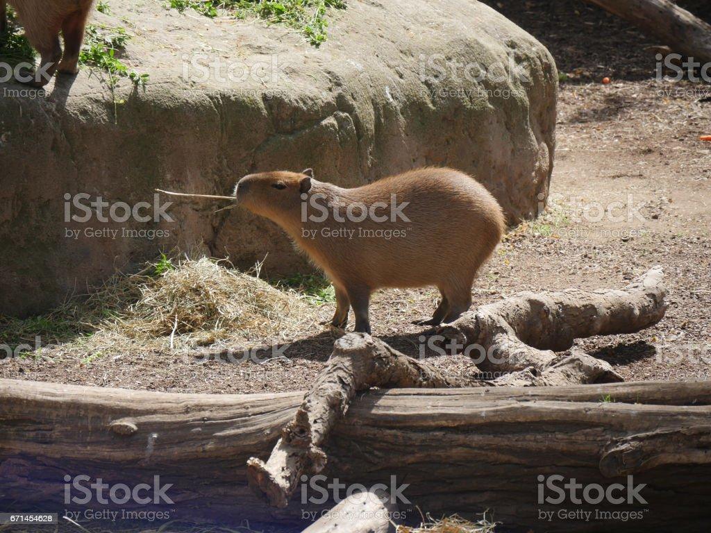 Capybara eating grass stock photo