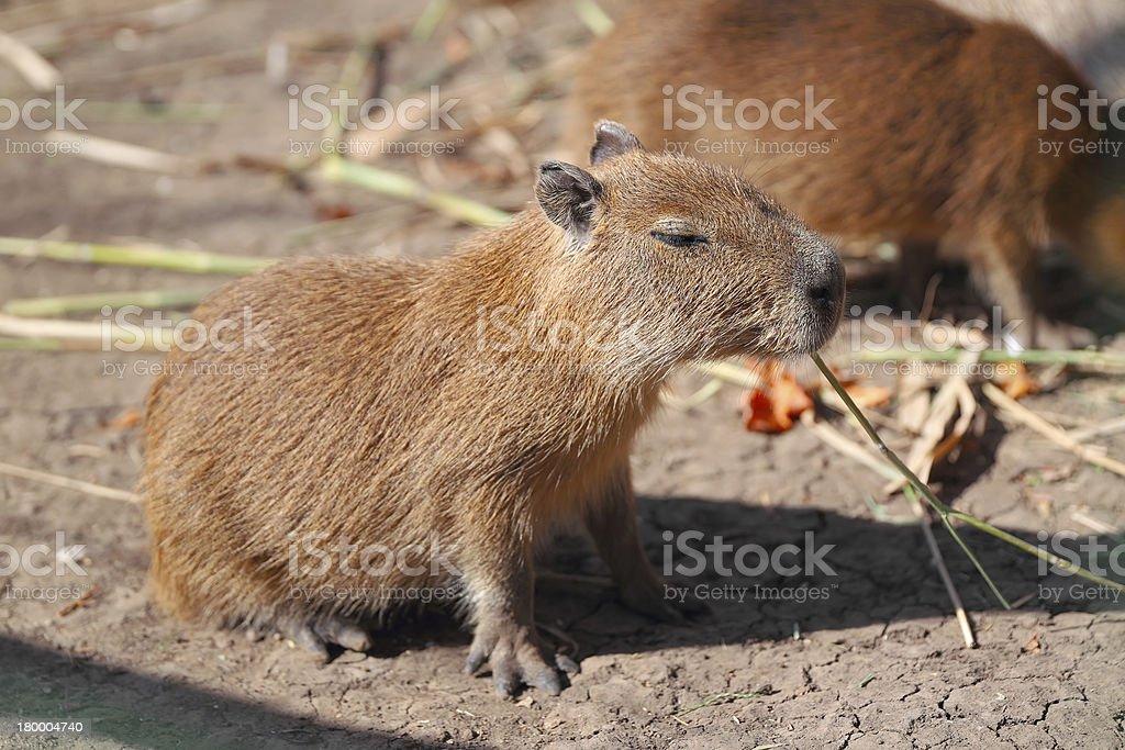 Capybara family royalty-free stock photo