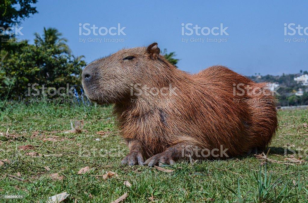 capybara from brazil capivara brasil stock photo
