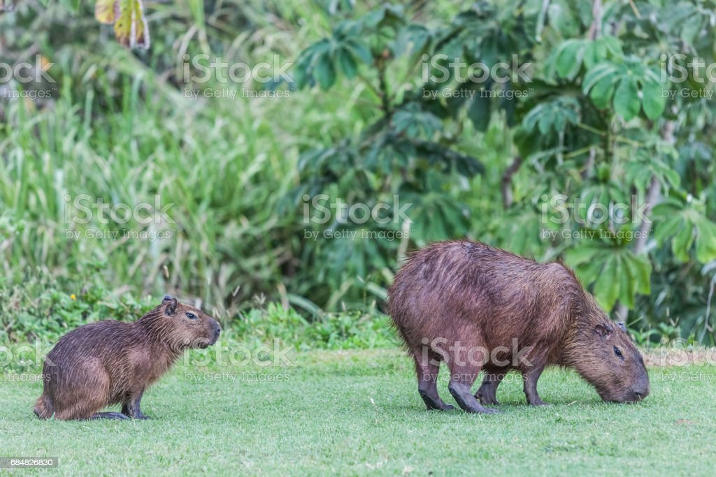 Capybara in Panama (Gamboa) stock photo
