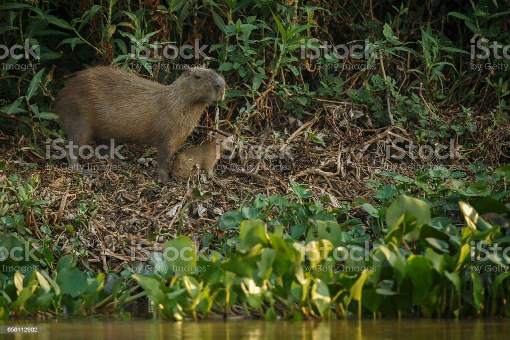 capybara in the nature habitat of northern pantanal stock photo