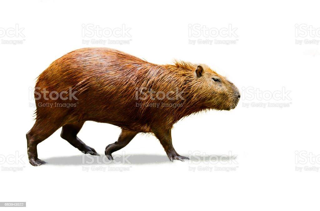 Capybara isolate on white background. stock photo