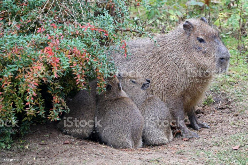 Capybara mother stock photo