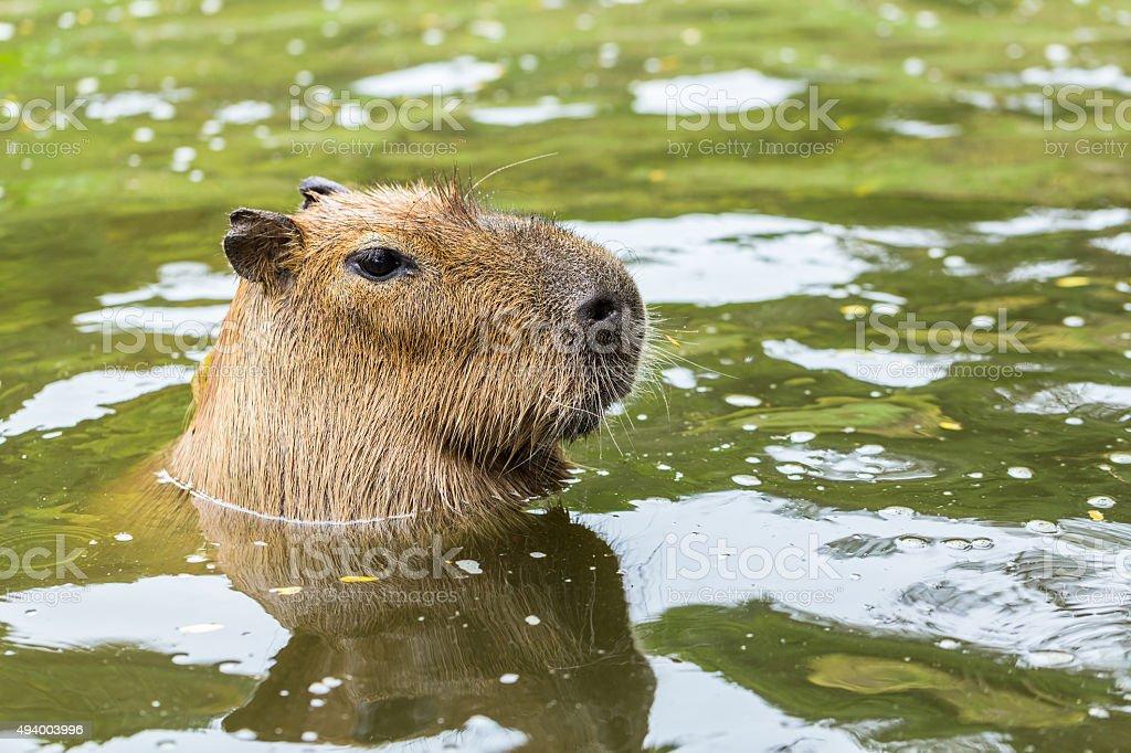 Capybara(Hydrochoerus hydrochaeris) royalty-free stock photo