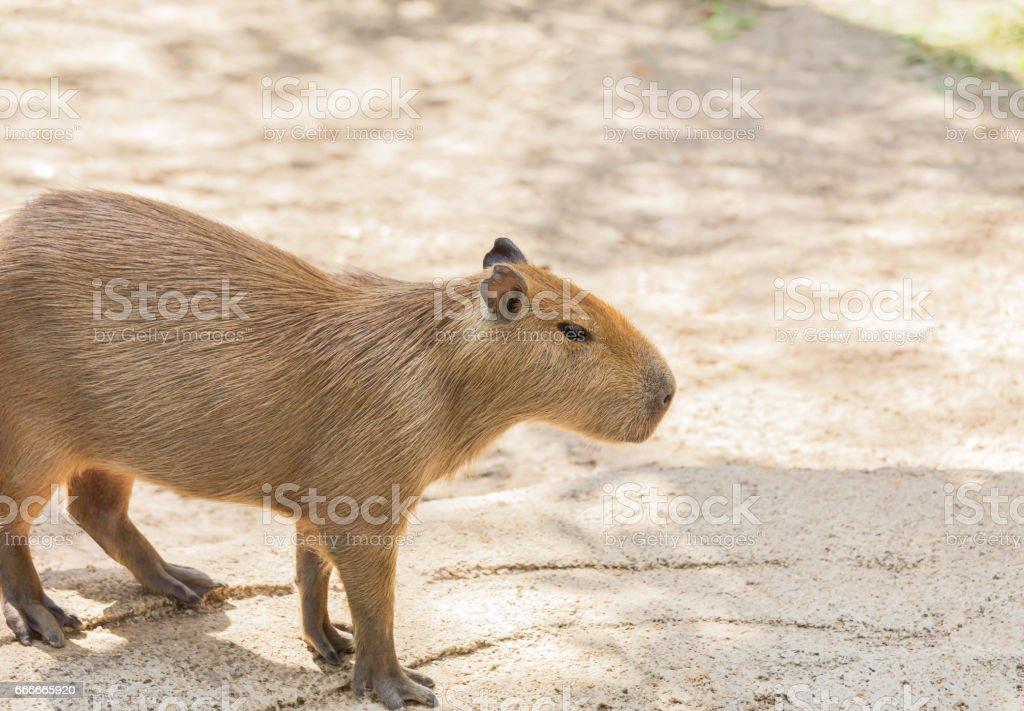 Capybara ( hydrochoerus hydrochaeris ) stock photo