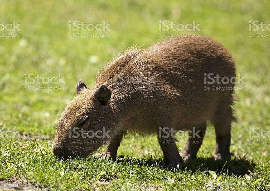 Capybara royalty-free stock photo