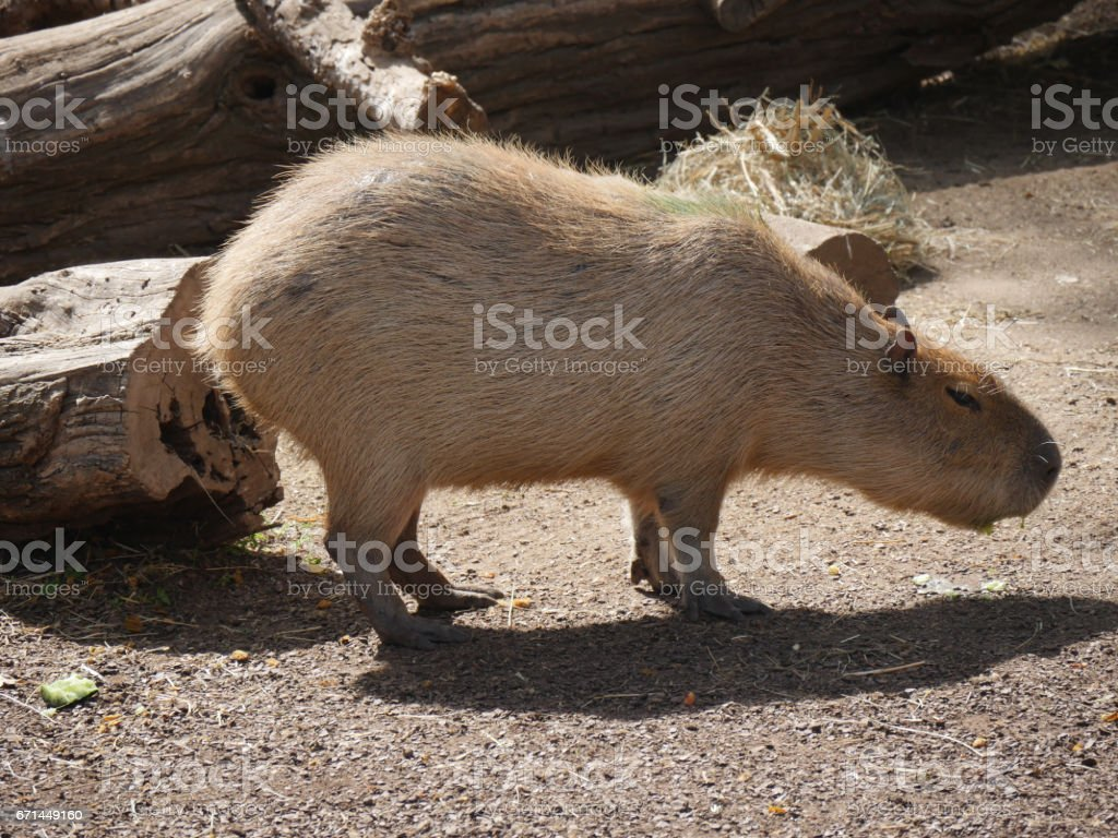 Capybara resting under the sun stock photo