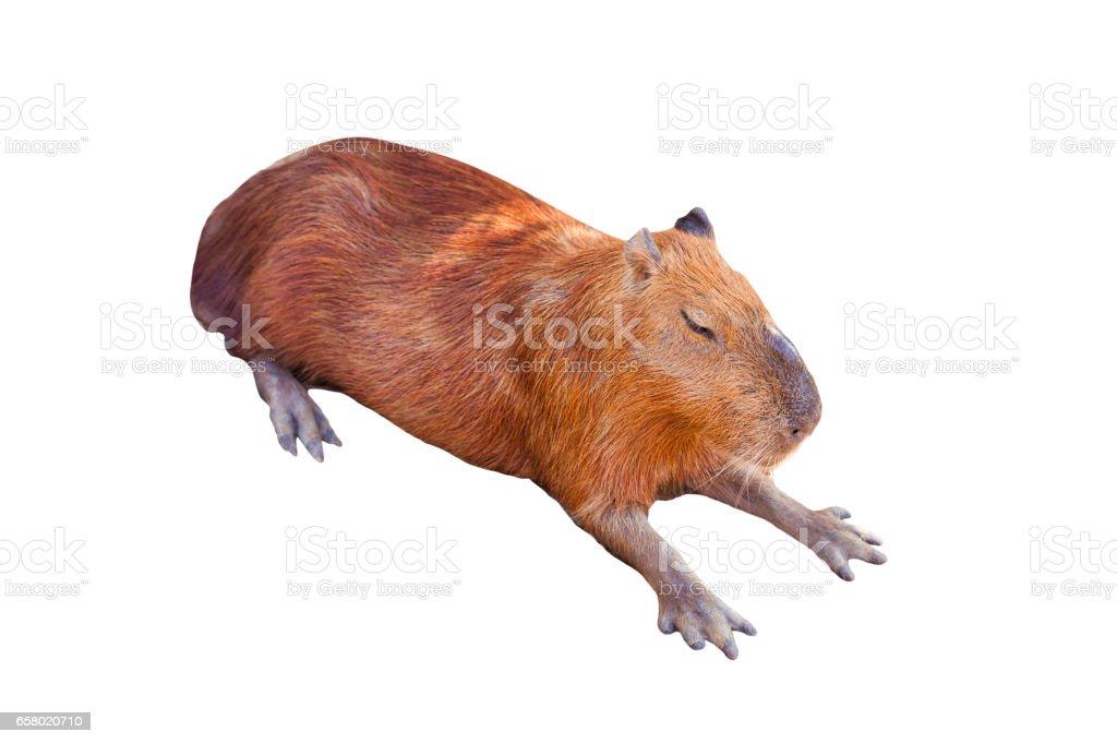 A Capybara sleeping on bare ground. stock photo