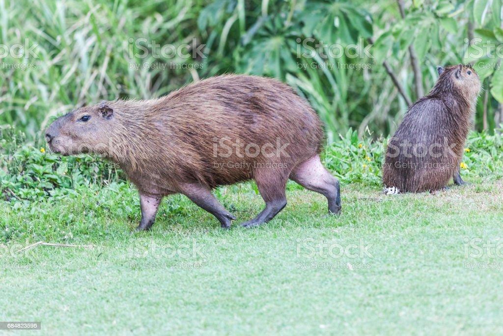 Capybaras in Panama (Gamboa) stock photo