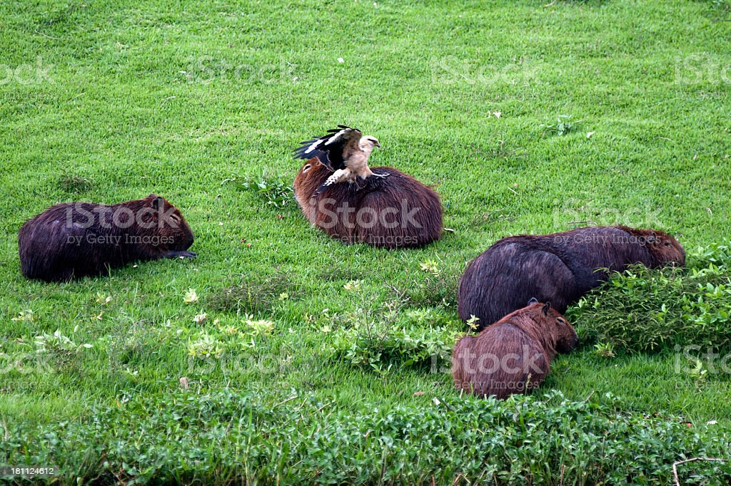 Capybaras royalty-free stock photo