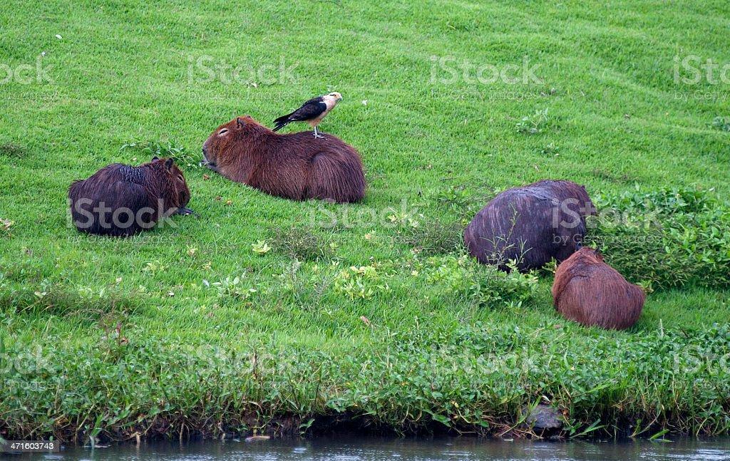 Capybaras royalty-free stock photo