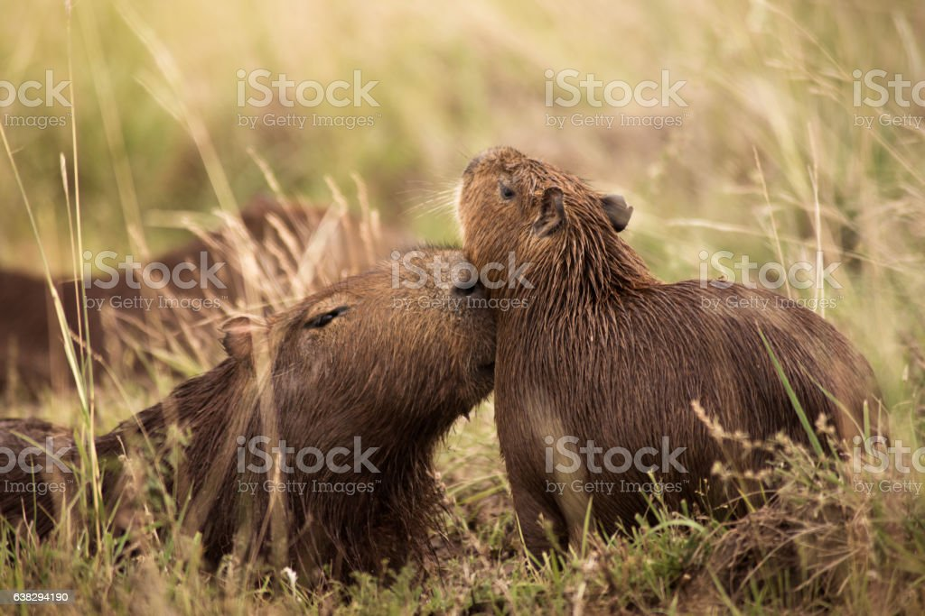 capybaras playing stock photo