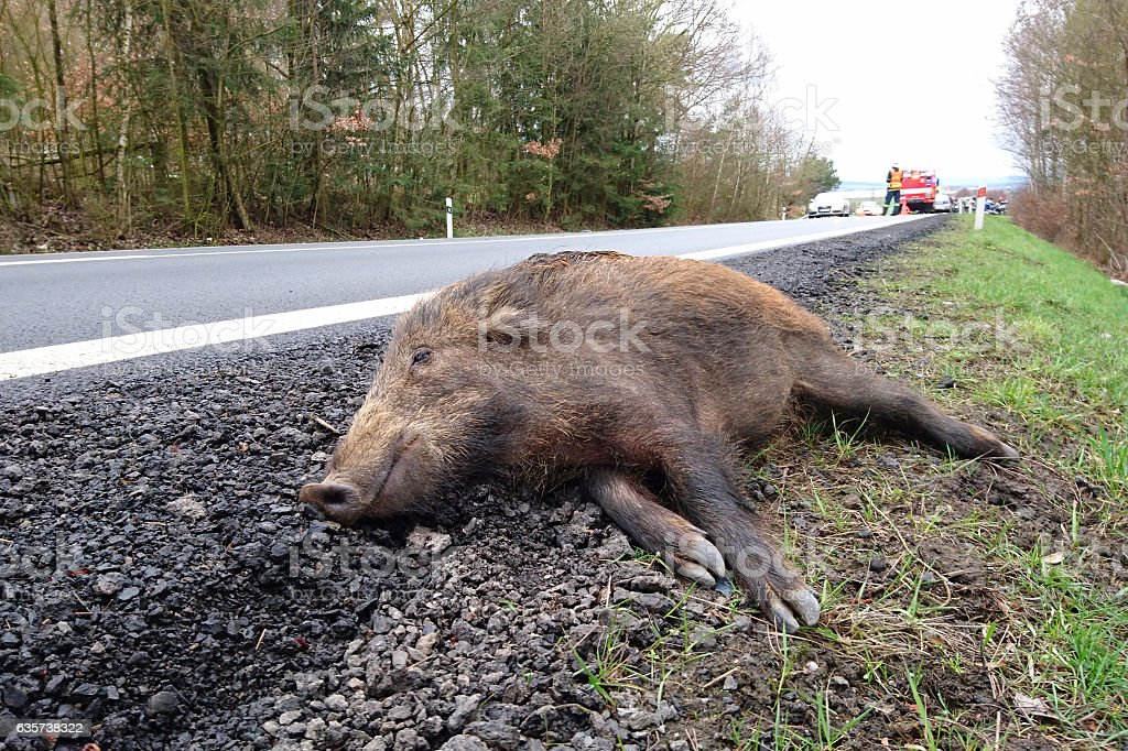 Car accident with wild boar stock photo
