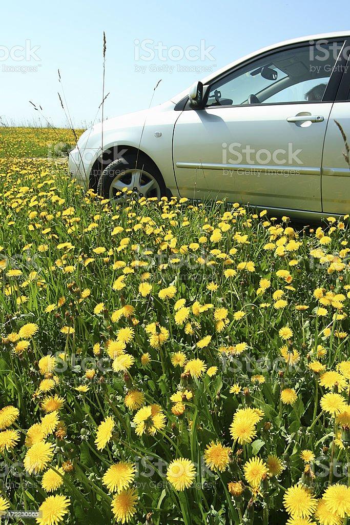 Car in a dandelion field. royalty-free stock photo