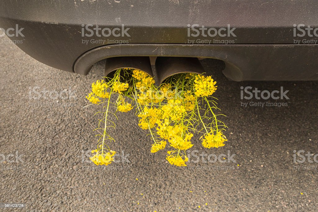 Car pipe exhaust, with blooming rape. Conceptual photo of biofuel. stock photo