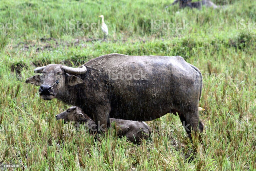 Carabao Carabao (Bubalus bubalis carabanesis) stock photo