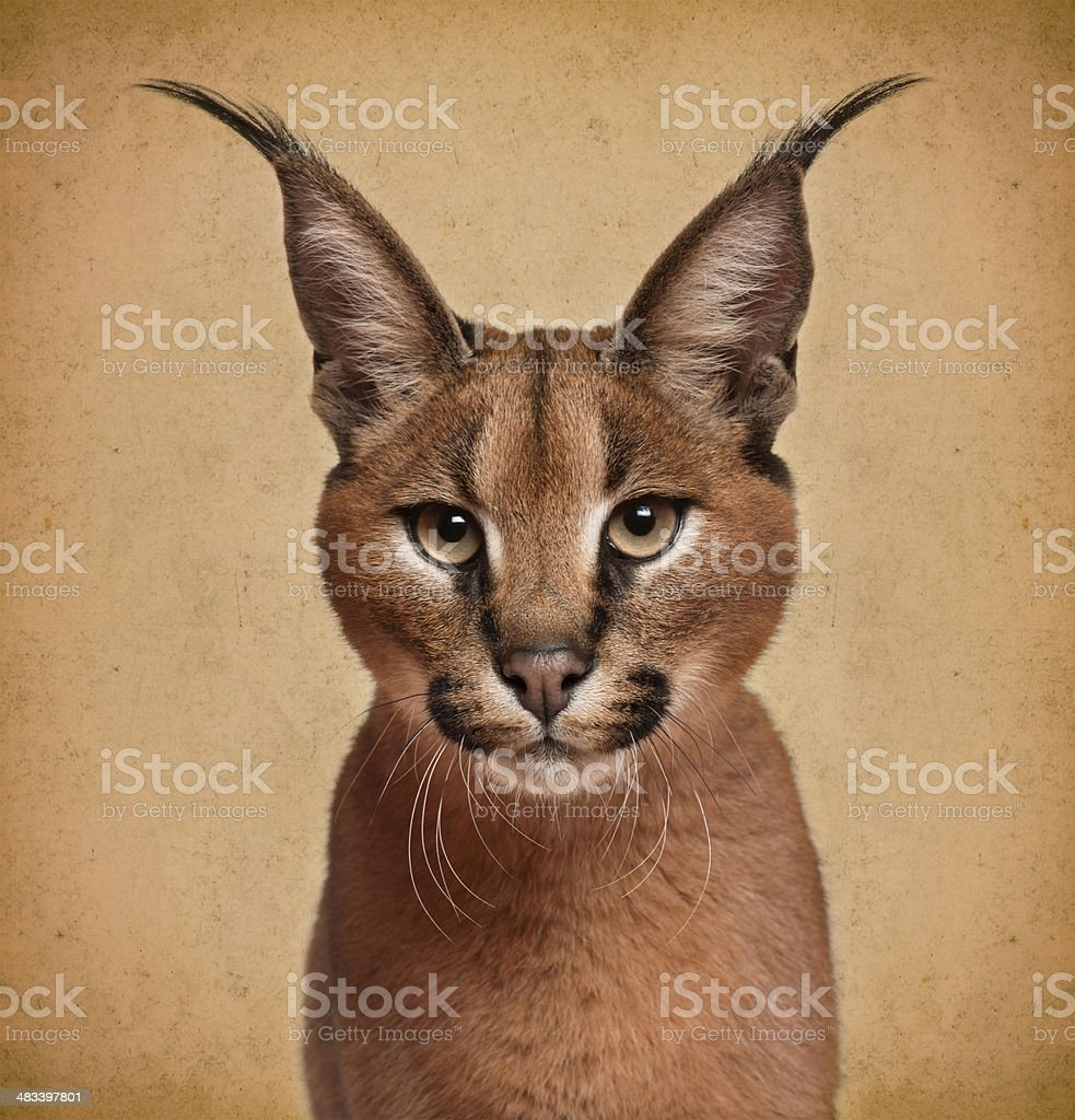 Caracal, 6 months old, in front of brown background stock photo