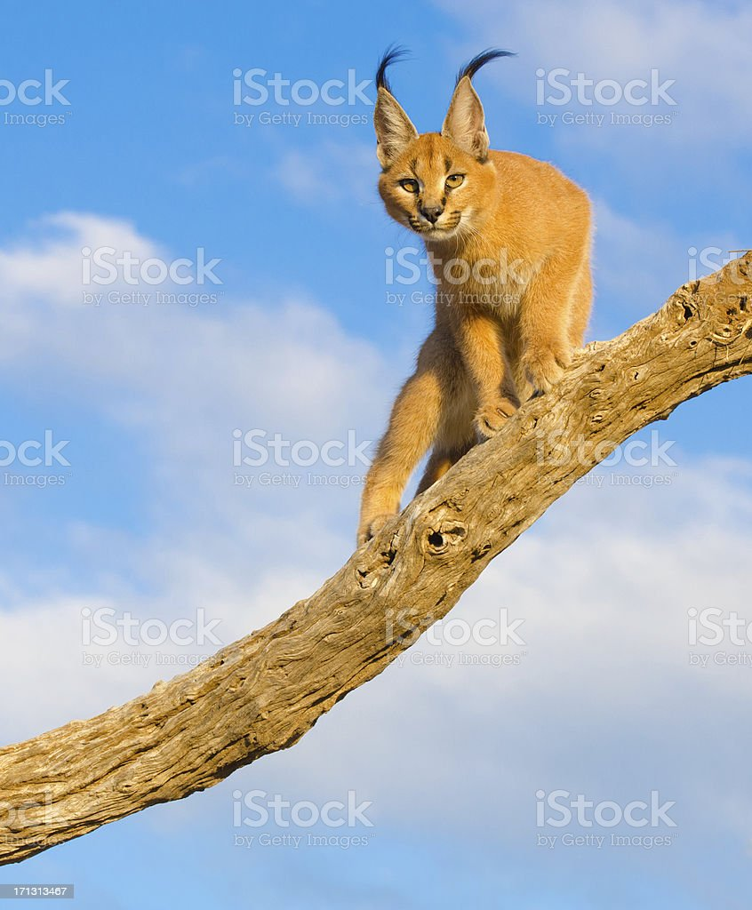 Caracal cat - South Africa stock photo