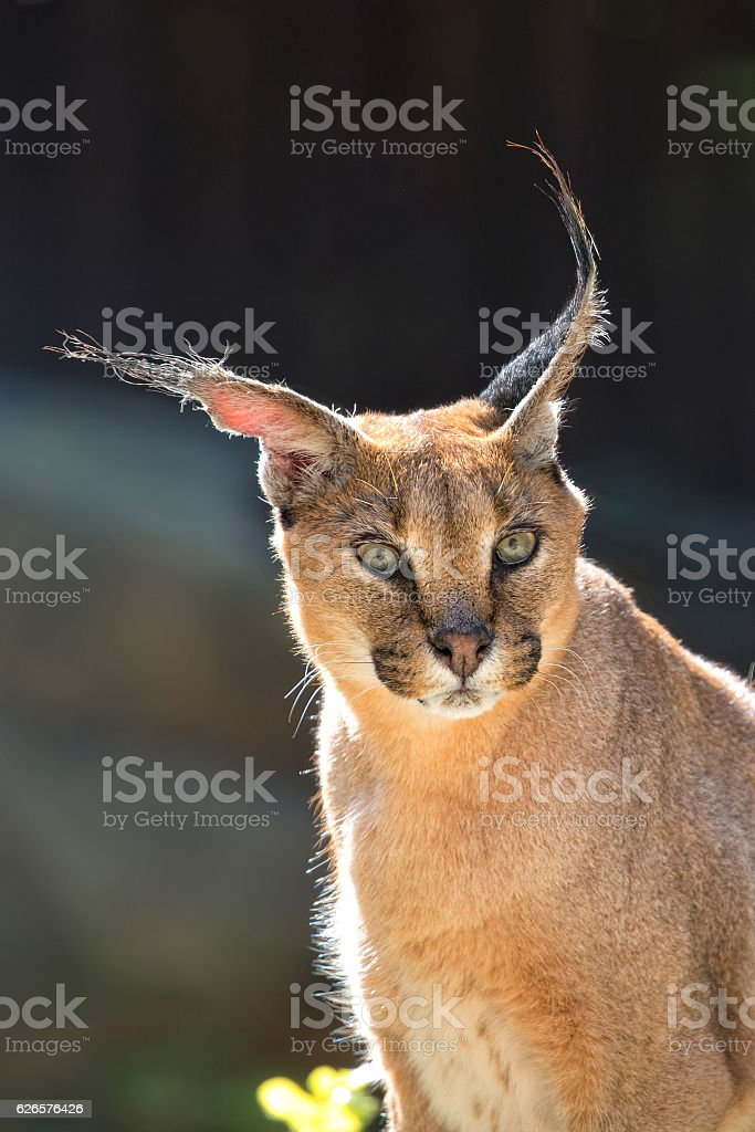 Caracal in the wild, a portrait stock photo