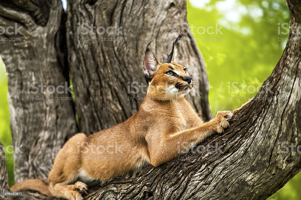 Caracal in tree. stock photo