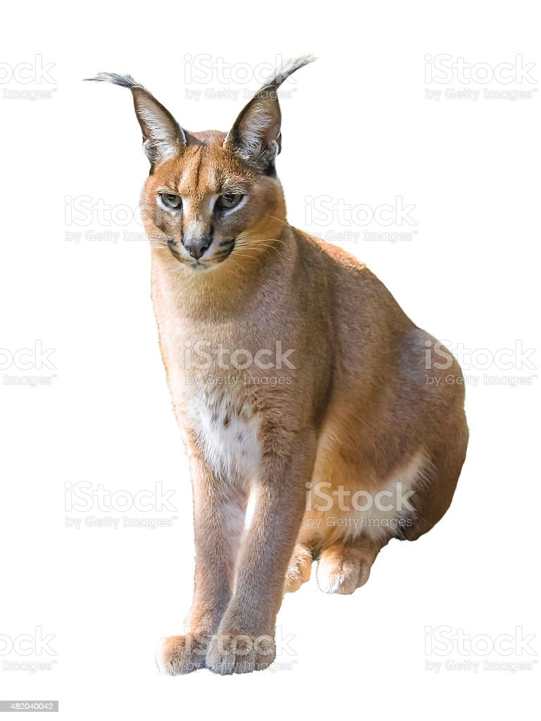 Caracal isolated stock photo
