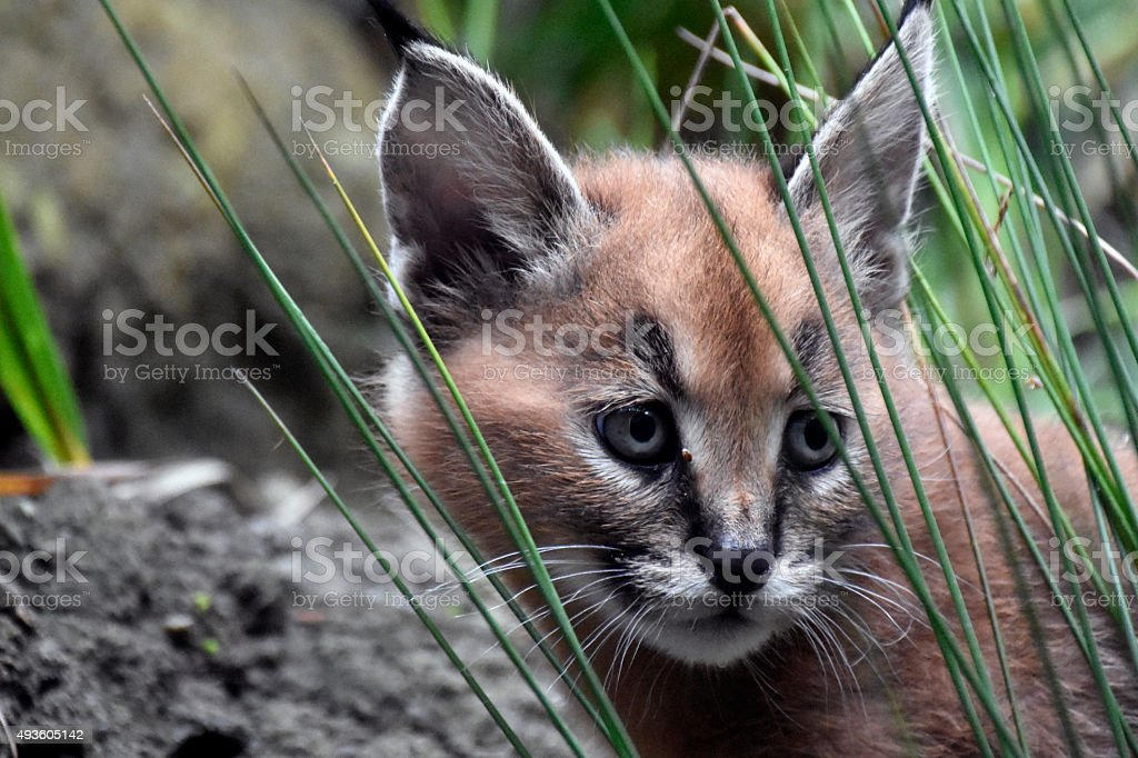 Caracal Kitten stock photo
