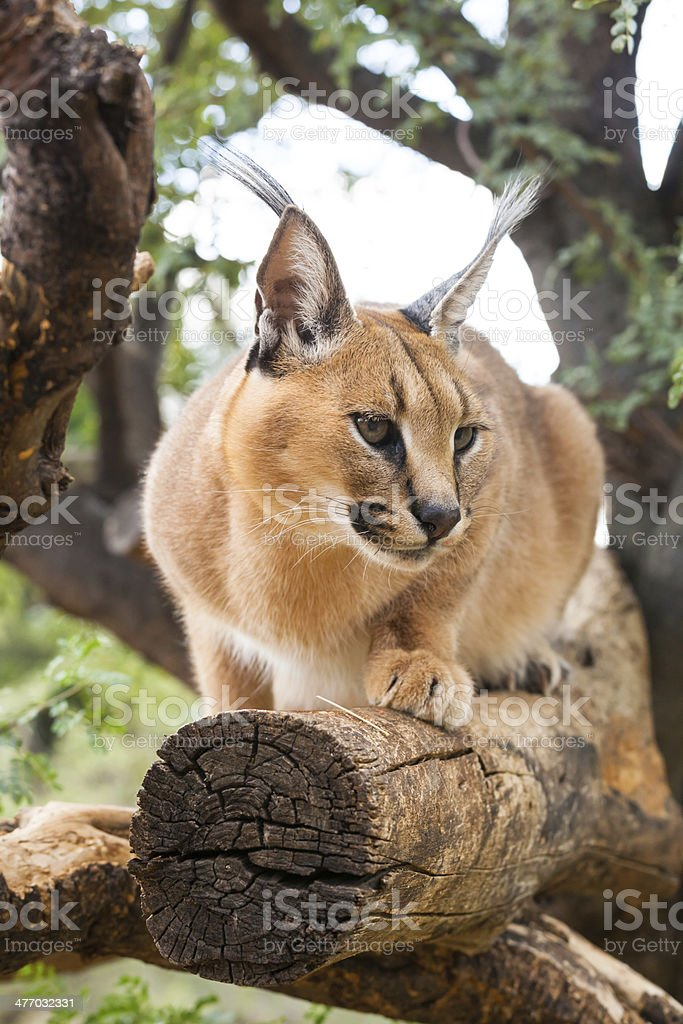 caracal on tree stock photo