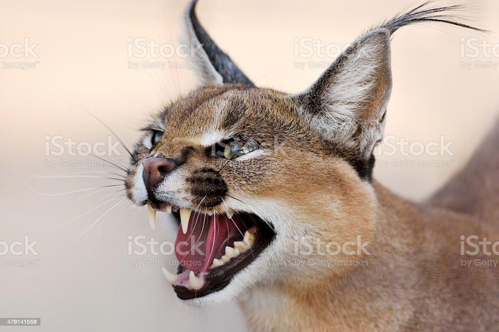 caracal portrait stock photo