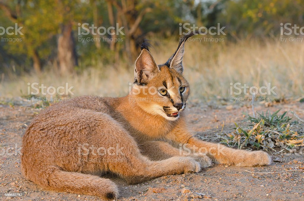 Caracal Resting - South Africa stock photo