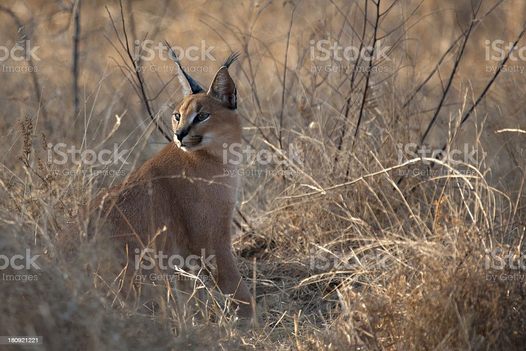 Caracal staring stock photo
