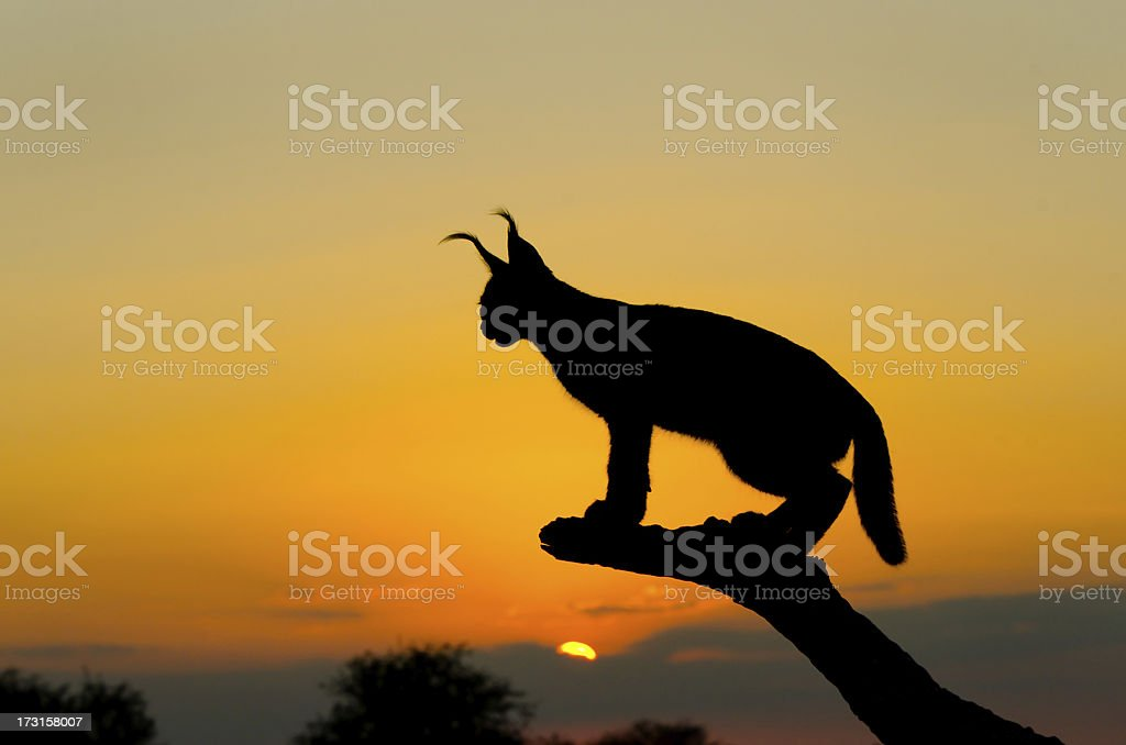 Caracal Sunset Silhouette, South Africa stock photo