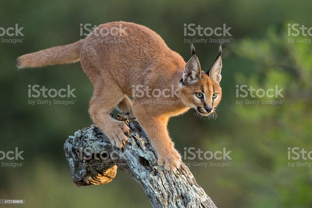 Caracal (Felis caracal) walking down tree  South Africa stock photo
