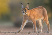 Caracal walking, South Africa, (Felis caracal)