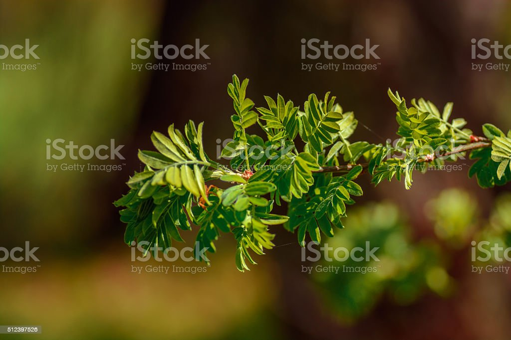 Caragana arborescens branch with leaves stock photo