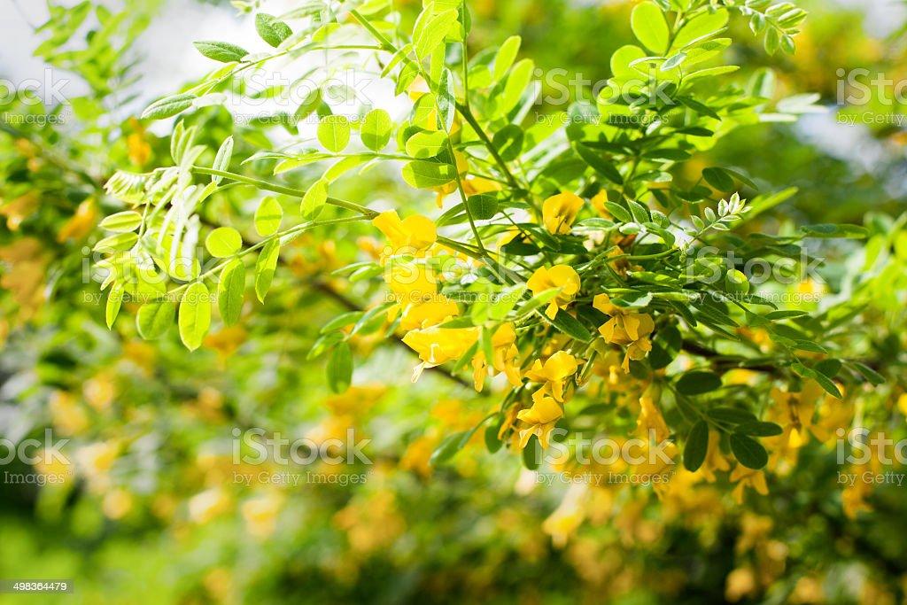 Caragana arborescens flowers stock photo