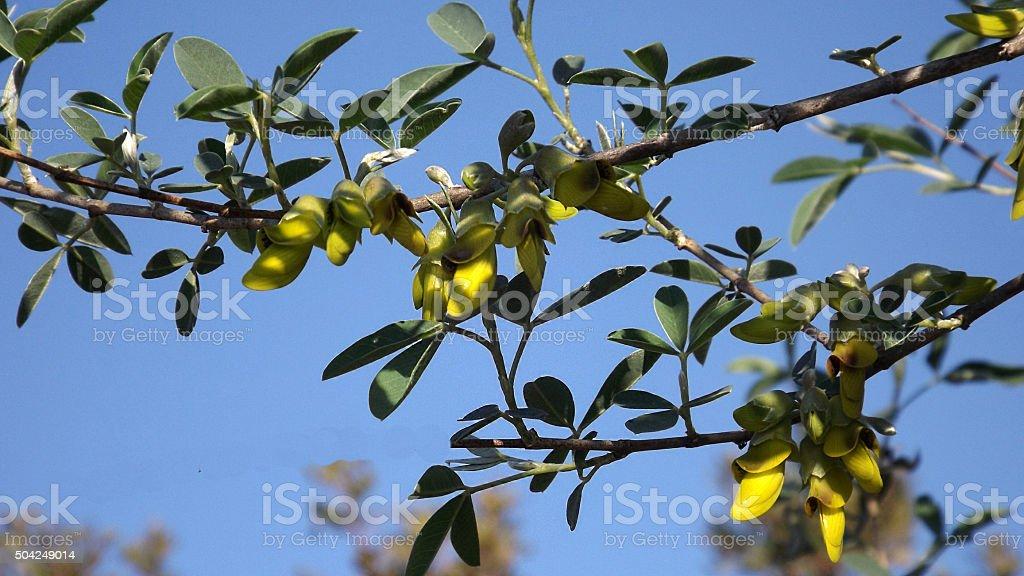 Caragana arborescens, or Yellow acacia flowers stock photo