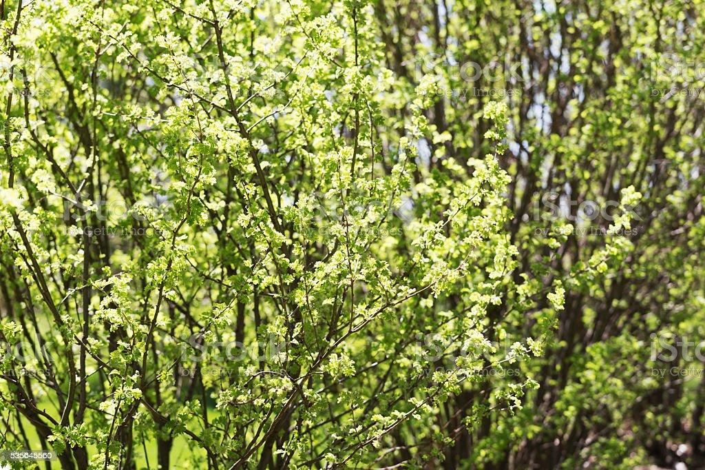 Caragana Bushes in Springtime stock photo