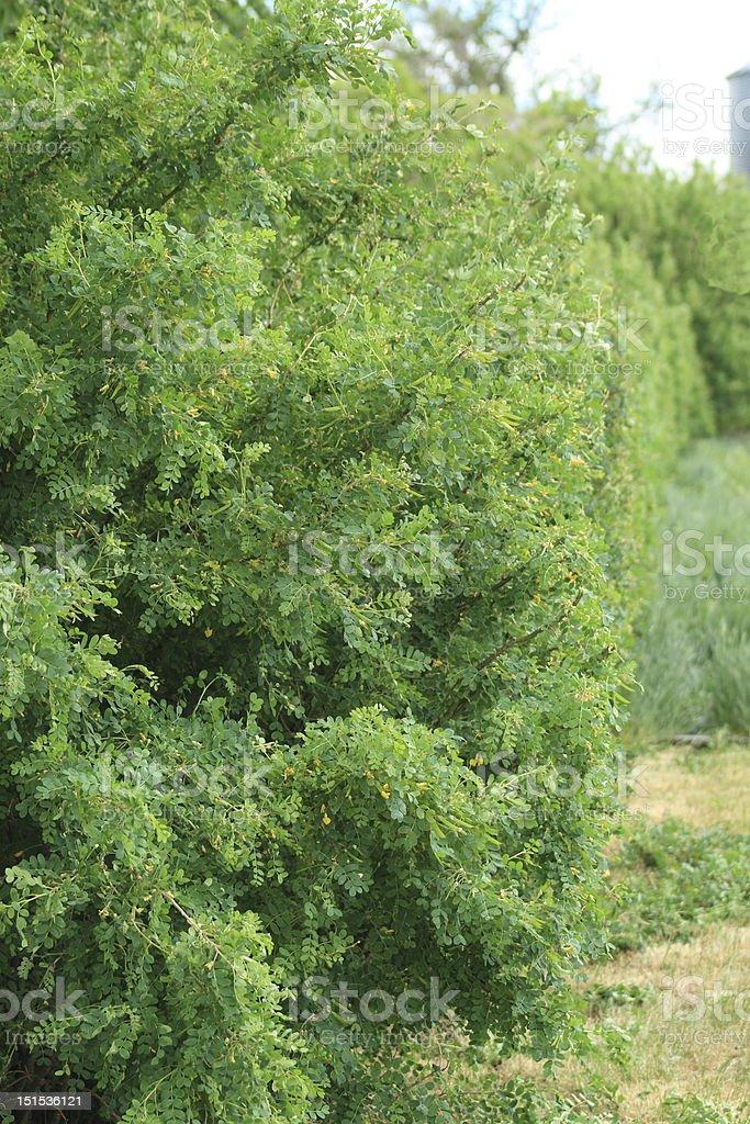 Caragana Hedge stock photo