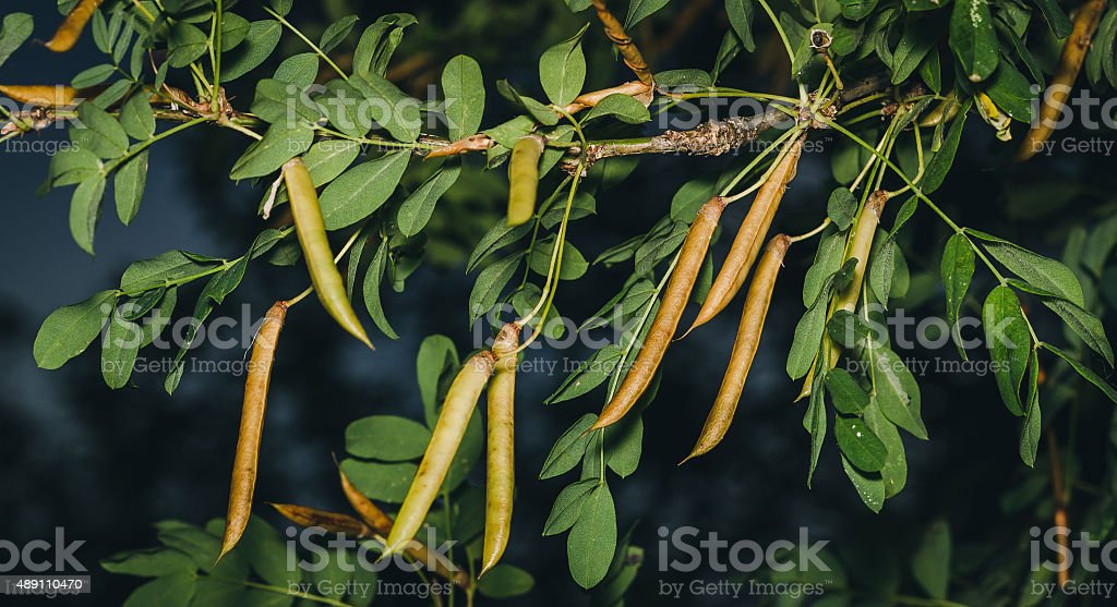 Caragana tree, yellow acacia stock photo
