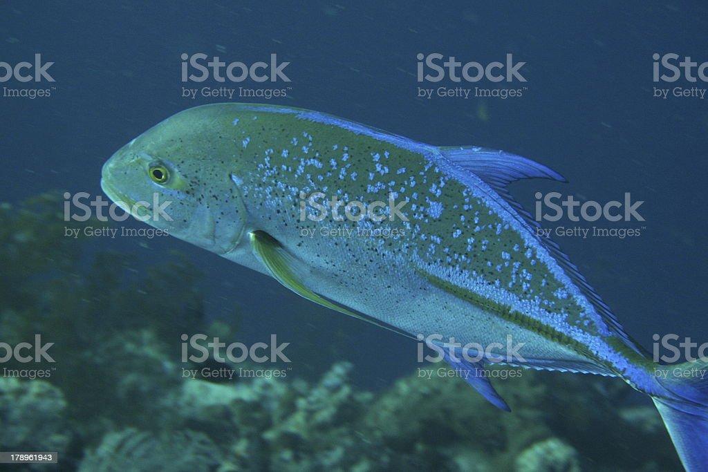 Carangue bleue ou  A  anale noire (Carnanx lampygus) stock photo