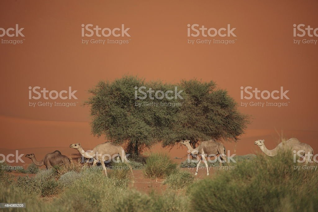 Karawane in der Sahara stock photo