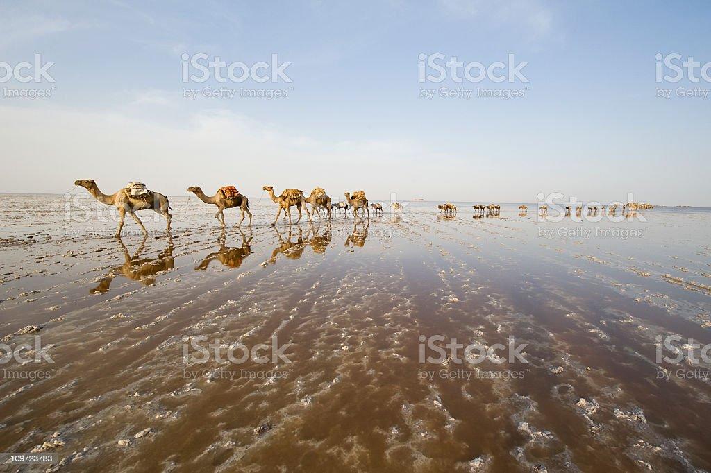 Caravan of camels in a line across salt plains stock photo