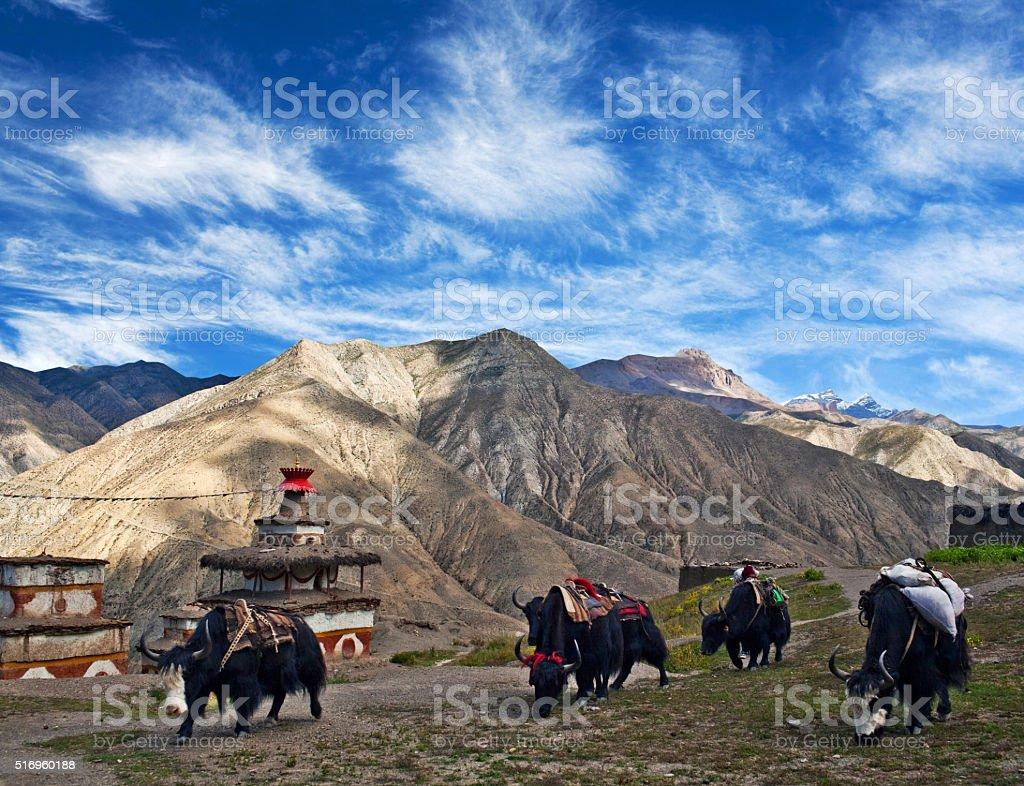 Caravan of yaks in Dolpo, Nepal stock photo