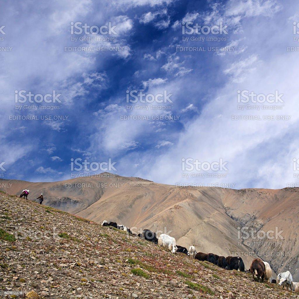 Caravan of yaks in the Nepal Himalaya stock photo
