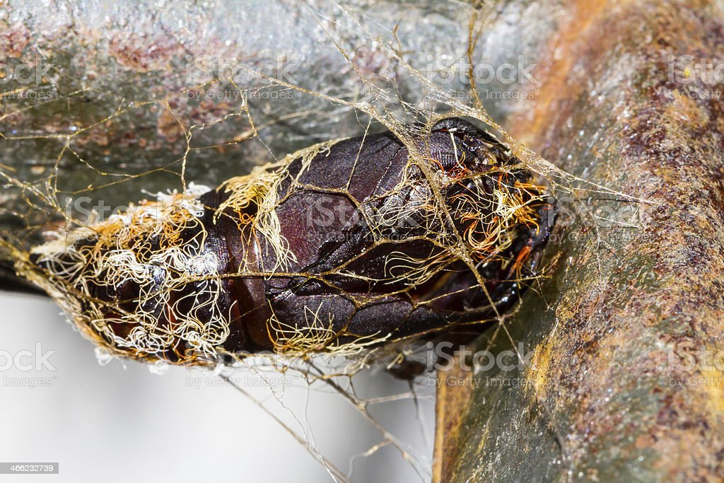 Carcass of hairy chrysalis stock photo