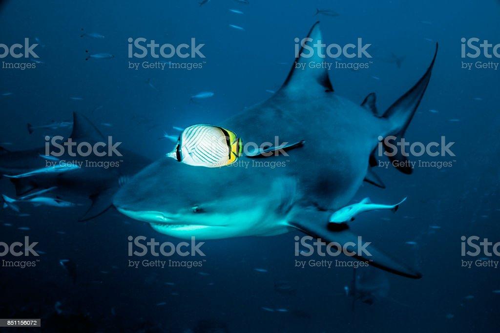 Carcharhinus leucas stock photo
