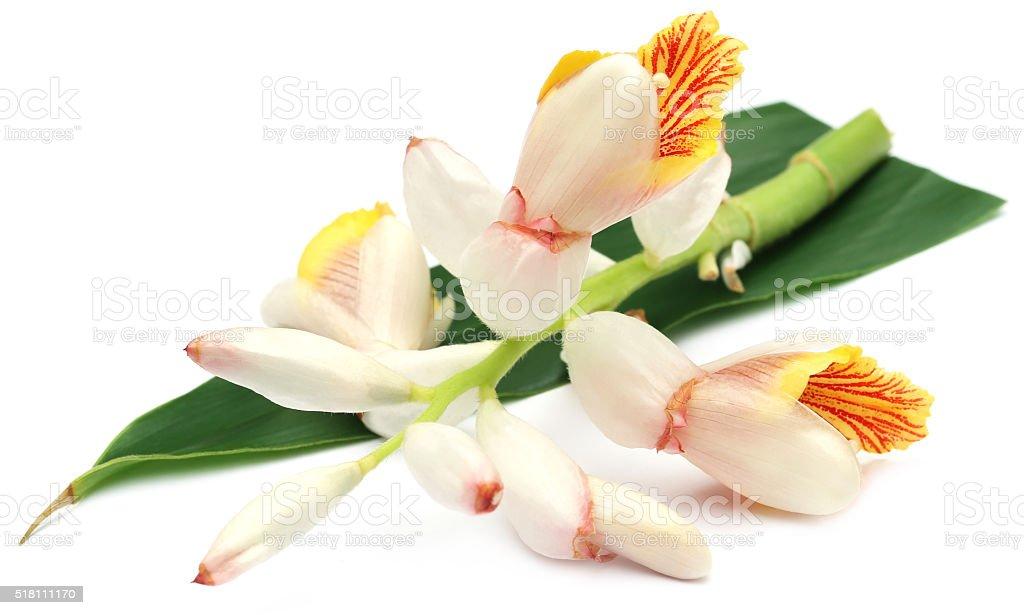 Cardamom flower stock photo