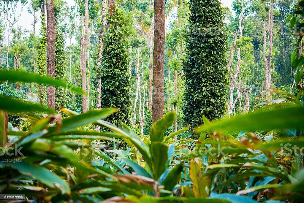 Cardamom plantation stock photo
